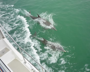 Dolphins ride our wake